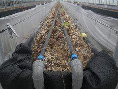 [写真]本圃ハウスの高設ベッド上に設置された灌水チューブ