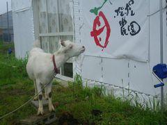 [写真]受付ハウス正面入口にあるポレポレ農園ロゴマークをじっと見つめるヤギのアラン