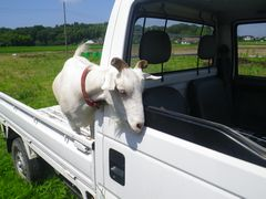 [写真]軽トラの荷台に乗ったアランが運転席をのぞきこんでいるところ