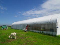[写真]台風一過後の青空の下で草を食べるアラン