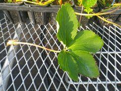 [写真]四つ葉のイチゴの葉
