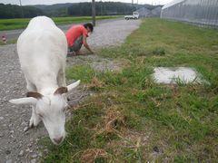 [写真]アランが駐車場際に生えている雑草を食べているところ