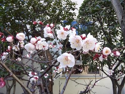 梅の花2014