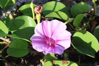 ぴざ浜の朝顔開花