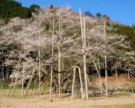 薄墨の桜org
