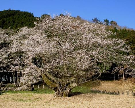 薄墨の桜02