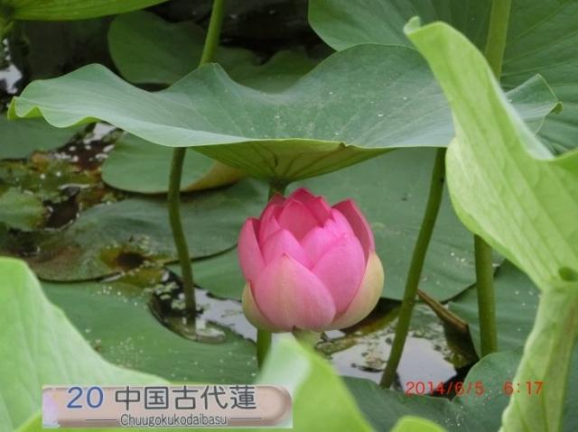 中国古代蓮