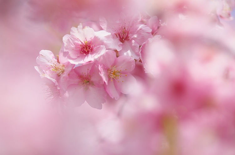 河津桜が咲く頃
