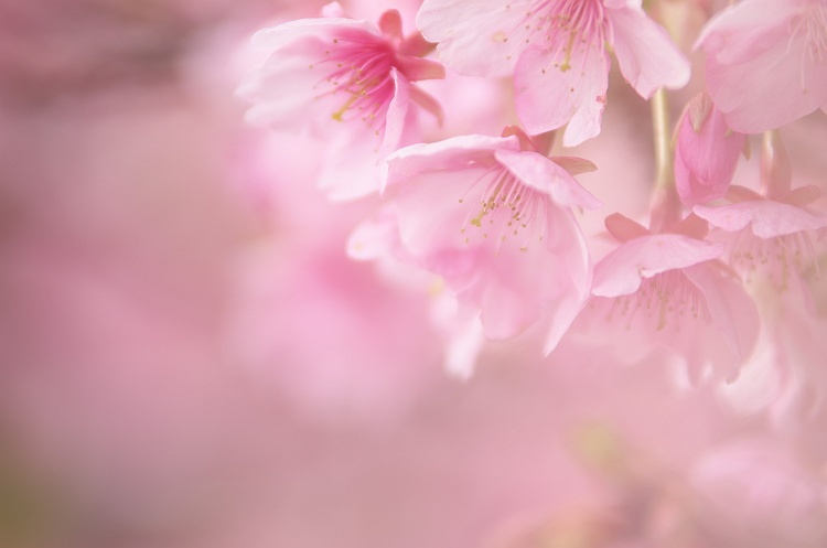 河津桜が咲く頃 2