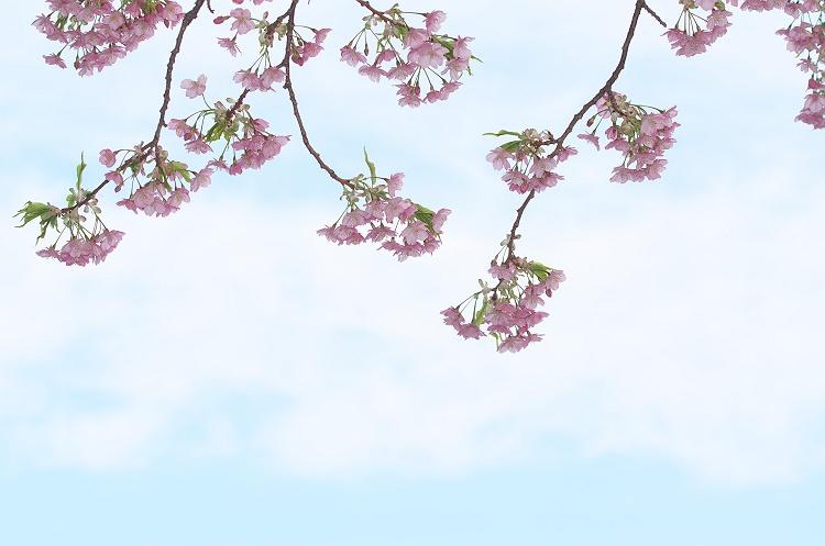 河津桜が咲く頃 3