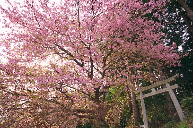 河津桜が咲く頃 4