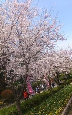 江ノ島 桜
