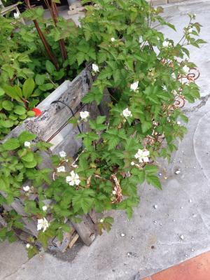 2014ベリーの花