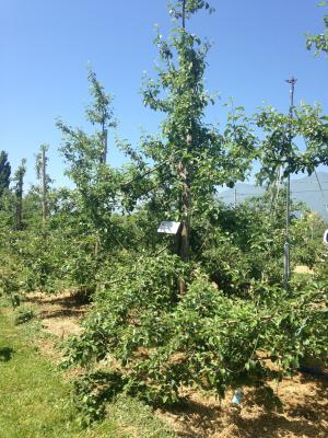 2014リンゴの木