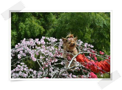 枝垂れももの花DSC_0681