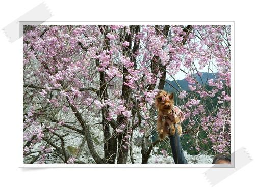 枝垂れももの花DSC_0686