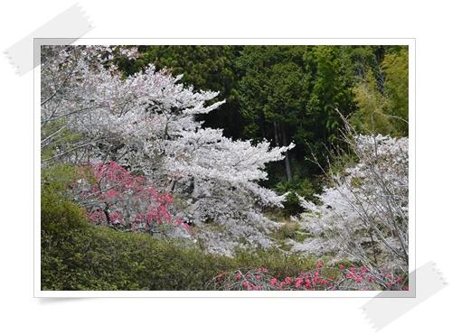 枝垂れももの花DSC_0688