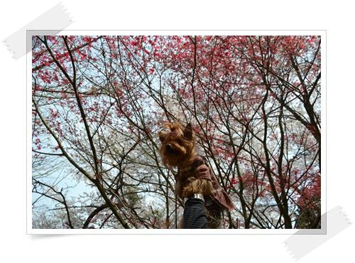 枝垂れももの花DSC_0692