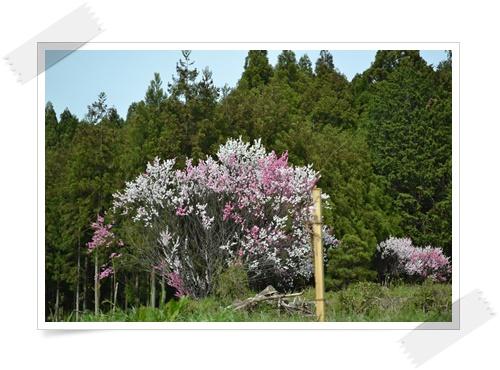 枝垂れももの花DSC_0710