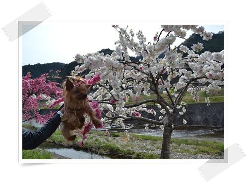 枝垂れももの花DSC_0714