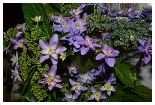紫陽花DSC_0261-20140528