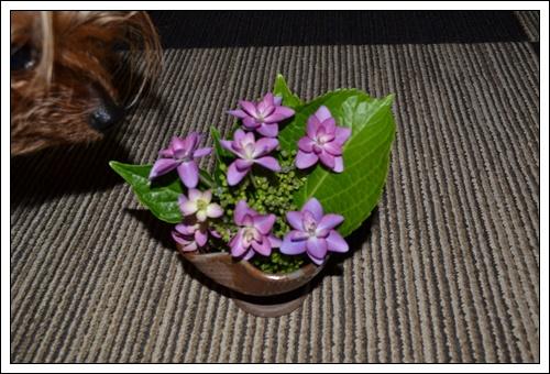 紫陽花DSC_0263-20140528