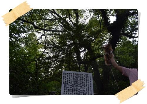 茅くぐりDSC_0503-20140615