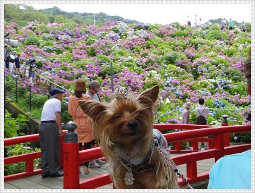 紫陽花の里IMGP0101-20140621