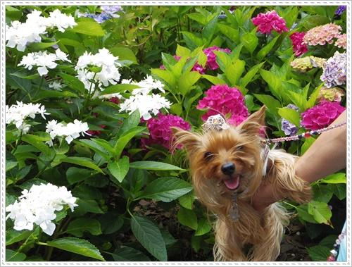 紫陽花の里IMGP0102-20140621