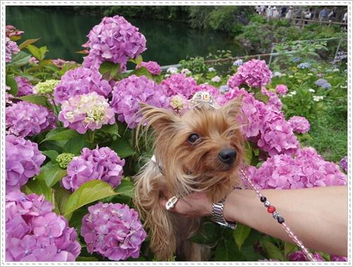 紫陽花の里IMGP0106-20140621