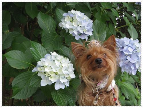 紫陽花の里IMGP0107-20140621