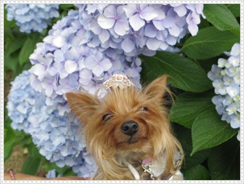 紫陽花の里IMGP0108-20140621