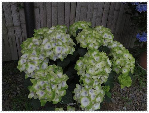紫陽花の里IMGP0120-20140621