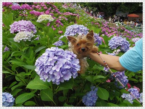 紫陽花の里IMGP0127-20140621