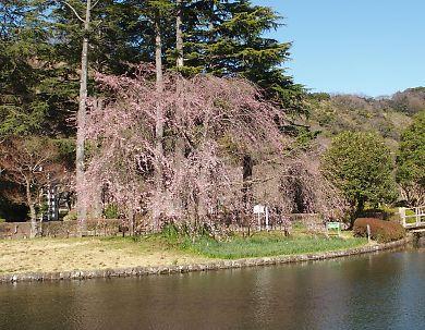 城北公園の枝垂れ桜-1