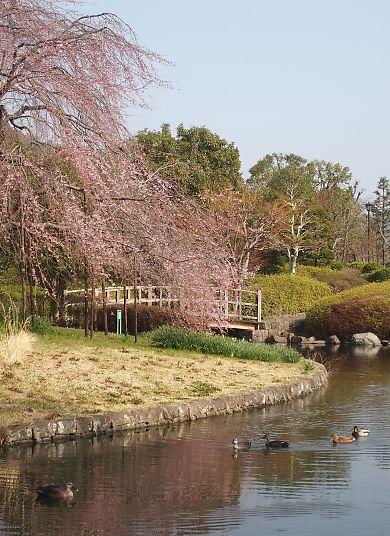 城北公園の枝垂れ桜-2
