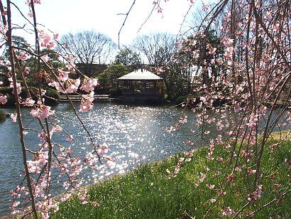 城北公園の枝垂れ桜-3