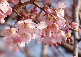 城北公園の枝垂れ桜-4