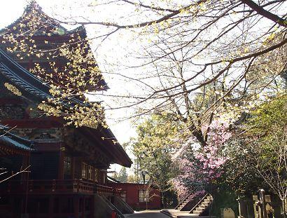 浅間神社枝垂れ桜画像-1
