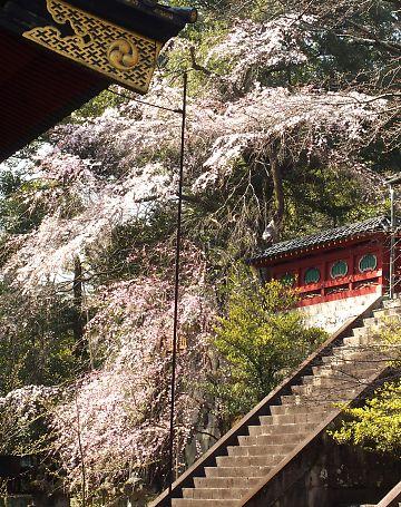 浅間神社枝垂れ桜画像-3