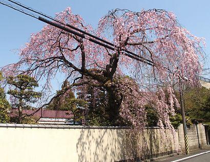 御屋敷町の満開の枝垂れ桜-1