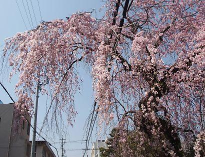 御屋敷町の満開の枝垂れ桜-2