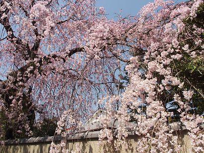 御屋敷町の満開の枝垂れ桜-3