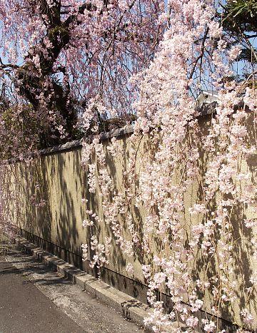 御屋敷町の満開の枝垂れ桜-4
