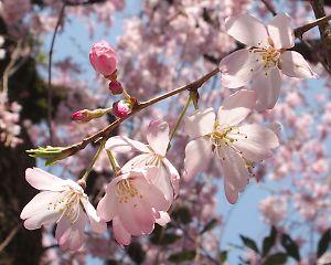 御屋敷町の満開の枝垂れ桜-5