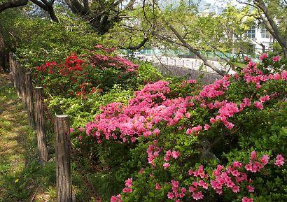 つつじ・さつき咲く駿府城公園-4