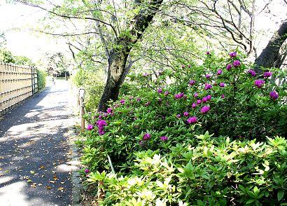 つつじ・さつき咲く駿府城公園-6