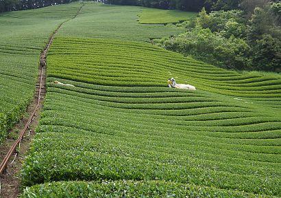 新間の茶畑画像-2