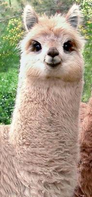 アルパカの笑顔