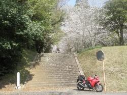 笠狭宮跡 桜満開 CBR250R 4